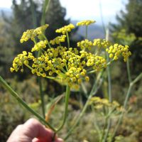 A fennel plant in full bloom.