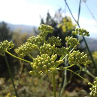A fennel plant not yet at the perfect maturity to pluck.