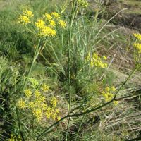Late July to early August is the ideal time for harvesting fennel pollen.