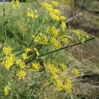 Yellow-green flowers on the fennel plant.