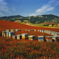 Honey boxes in Sulla flower field.