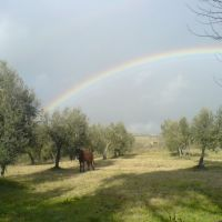 A beautiful olive grove on the farm.