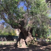 A 2,000 year old olive tree in nearby town Montelibretti.
