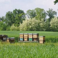 Hives at Lombardore.