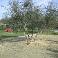 Frantoio is the predominant olive varietal in Laudemio olive oil.