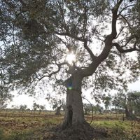 A sunlit olive tree on the estate.