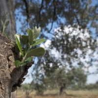 Leaves growing on an olive tree.