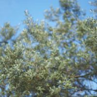 The altitude and climate of the region are ideal for growing olives.
