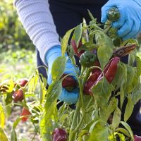 Peppers in the Mirogallo Fields