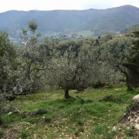 Olive orchards.