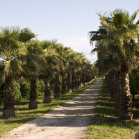 Palm trees line the road up to the estate.