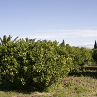 The citrus has been grown organically since the 1980s.